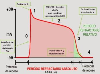 Potenciales De Membrana Y Potenciales De Accion Alejandra Fuentes Fisiologia